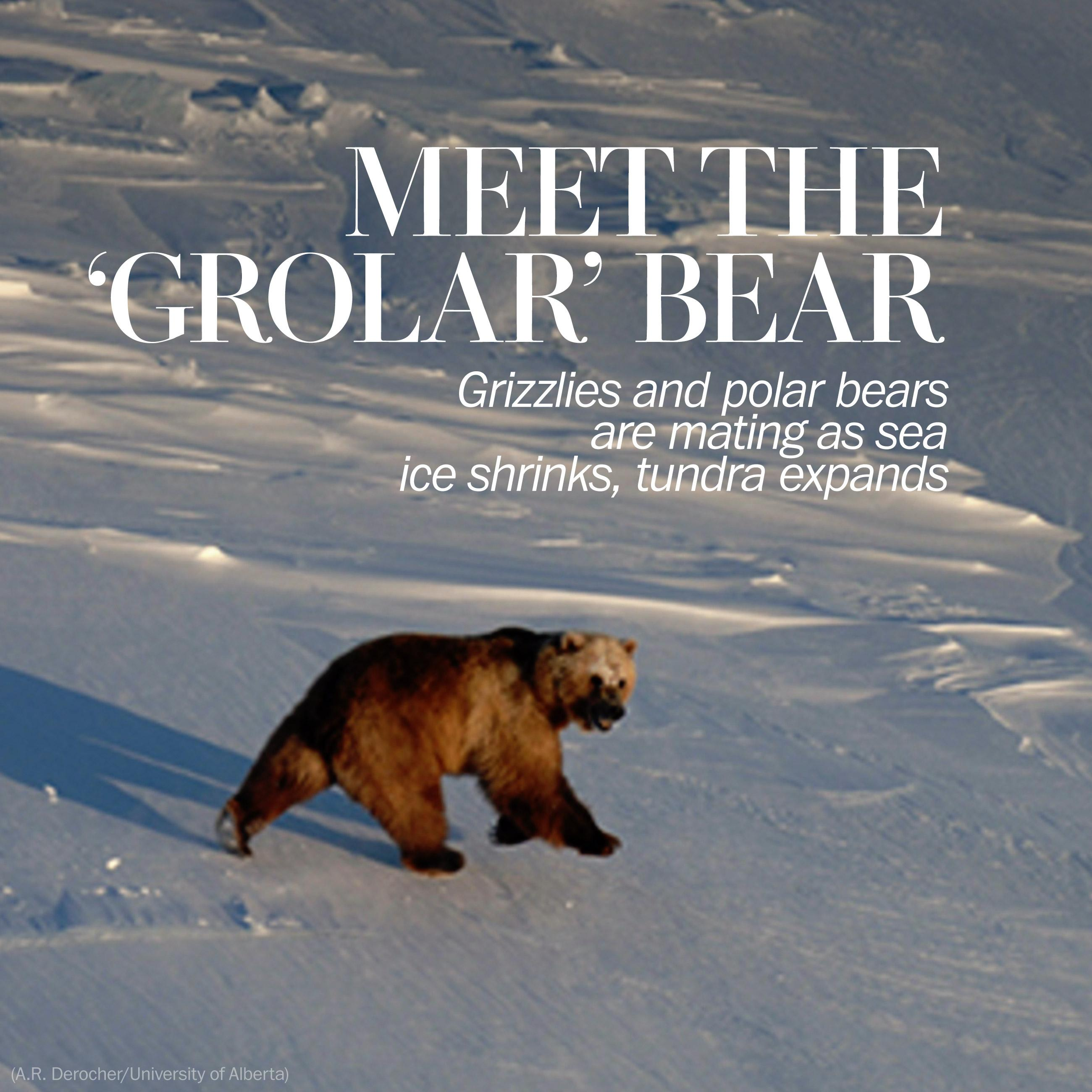 Love in the time of climate change: Grizzlies and polar bears are now mating