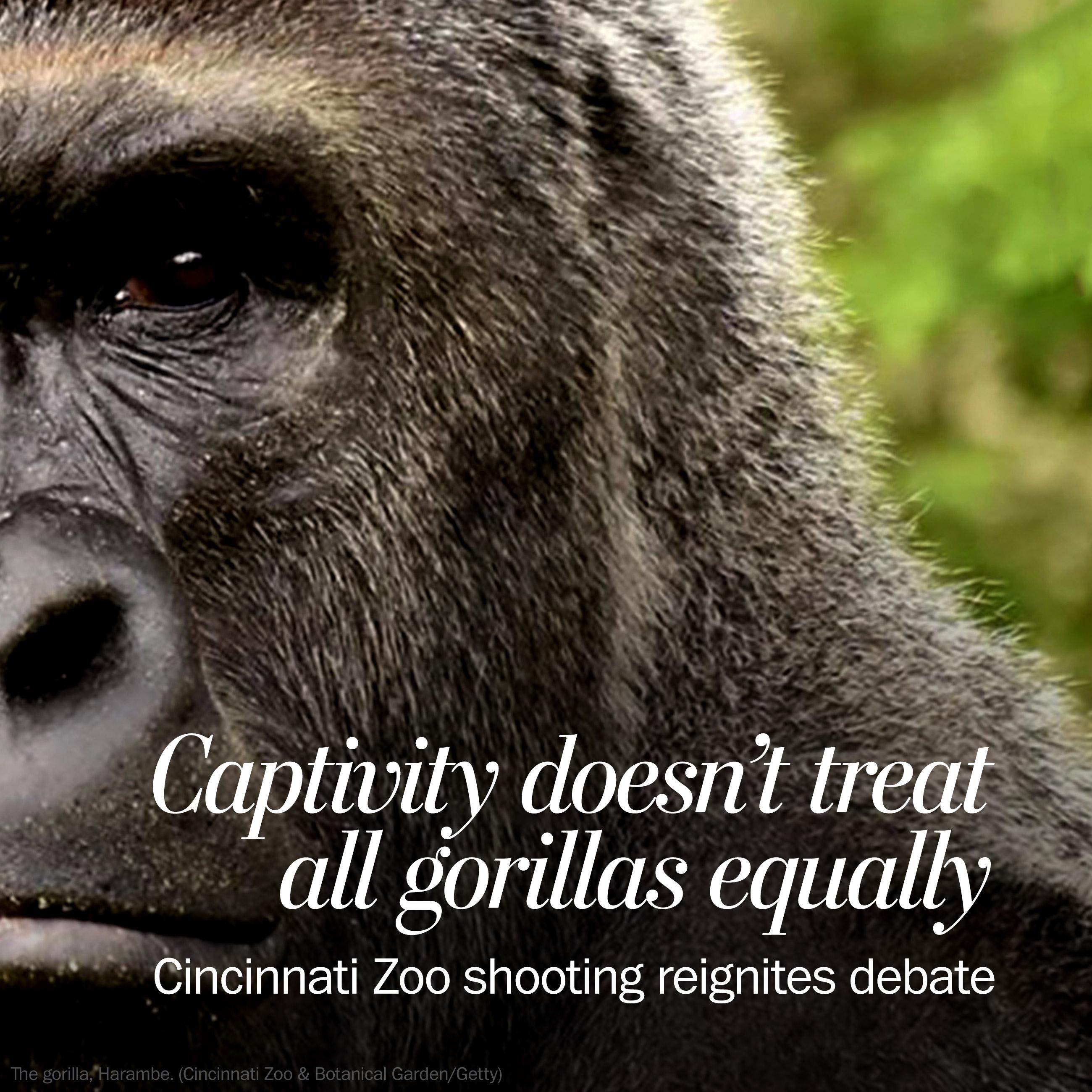 Gorilla death at Cincinnati Zoo puts debate over captive creatures in stark relief