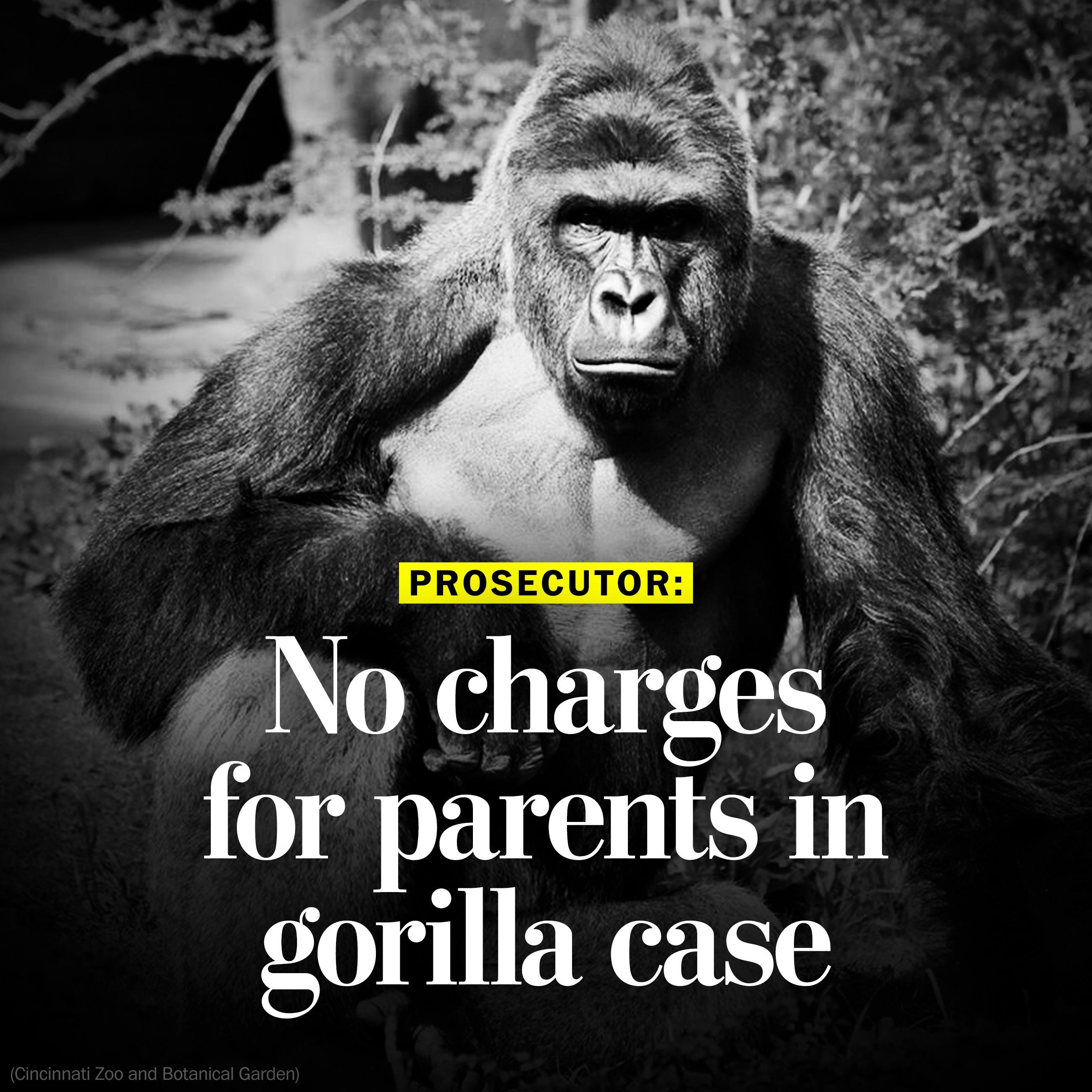 Prosecutor: No charges for parents in gorilla case