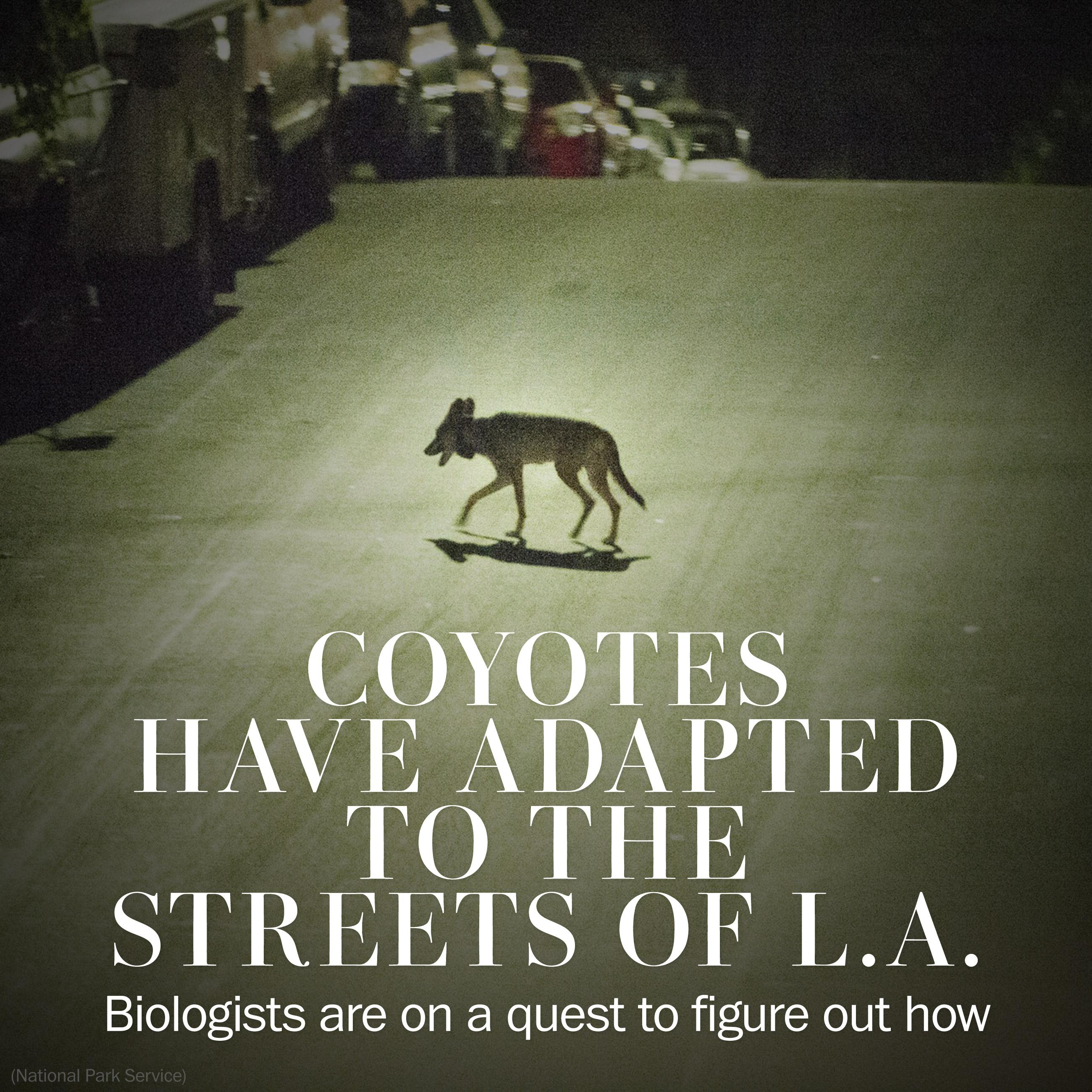 Coyotes have adapted to the streets of L.A., and biologists want to know how